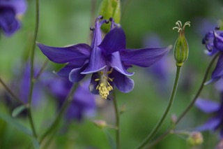Lavender Columbine